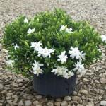 Gardenia Radican #3 5-14-12 (2)
